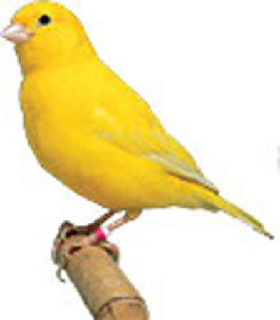 Canary Yellow Canary Bird