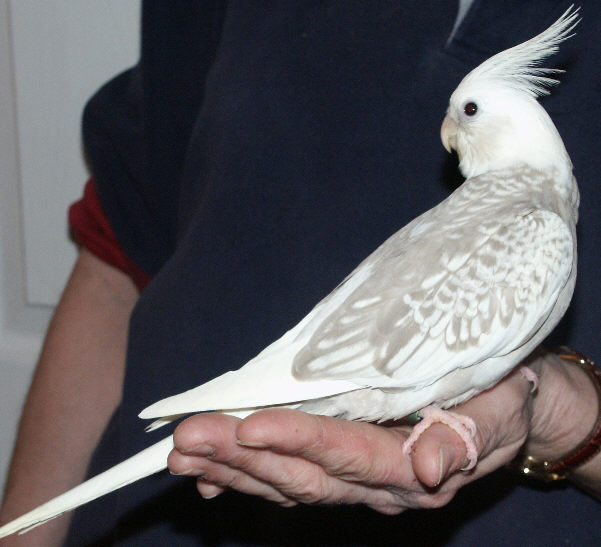 my birds pics pearl pied whiteface cockatiel