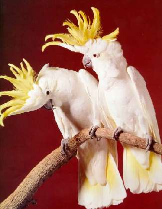 Cockatoo Pair