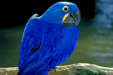 purple macaw