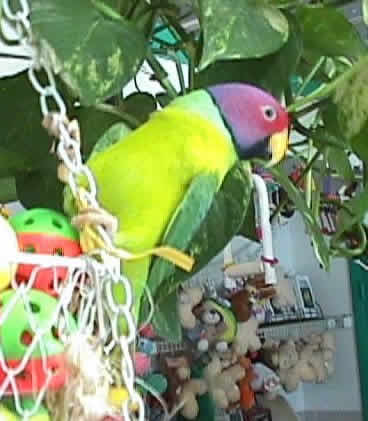 parakeet butterhead ri... Yellow Parakeet With Red Eyes