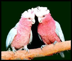Rose Breasted Cockatoo Pair