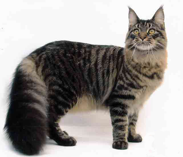 Main Coon Cat