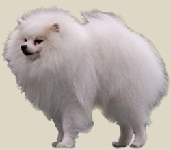 German Spitz (Small)