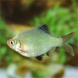 Platinum Neon Green Tiger Barb