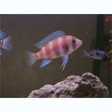 Red Frontosa Cichlid