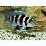 Five Bar Cichlid