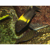 Tropheus moorii (yellow)