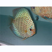 Green Turquoise Discus