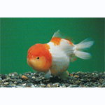 Red & White Lion Head Goldfish
