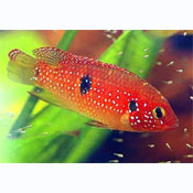 ... cameroun family cichlidae other names jewelfish two spotted jewel fish