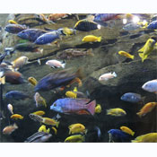 Malawi assorted Cichlid