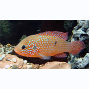 ... to cameroun family cichlidae other names jewelfish two spotted jewel