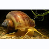 Black Apple Snail