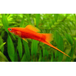 Swordtail assorted