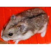 Campbell's Dwarf Russian Hamster