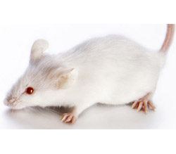 Pictures White Mouse